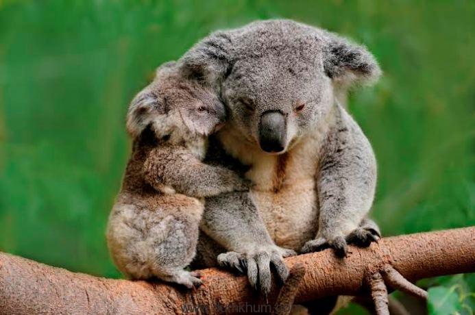 Koala mom