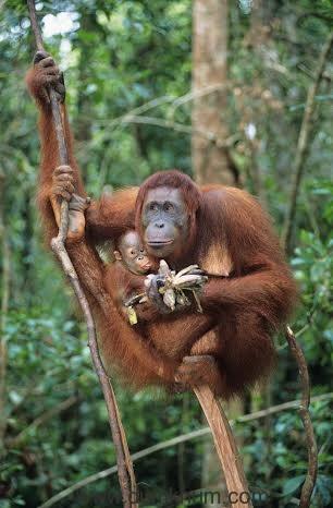 Orangutan Mother and Baby Eating