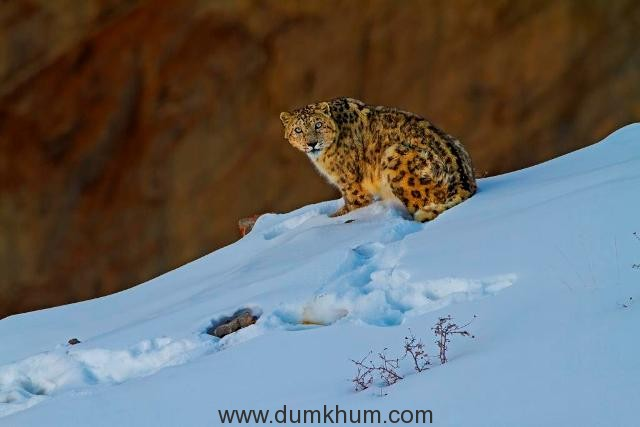 This image was taken in Spiti, Himachal Pradesh India during winter when the temperature remains sub zero (from minus 11 to minus 30 degree Celsius) But this elusive cat adapts that weather very well. Though it is very difficult to locate a snow leopard in the wild, still I got this little bold individual after 20 days of tracking in Spiti area.